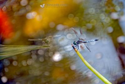 Dragonfly and Koi Pond